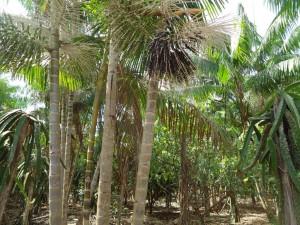 トメアスーの遷移型アグロフォレストリー(森林)農法