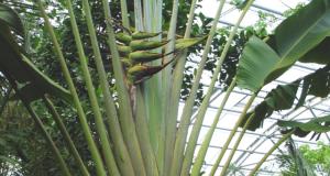 『旅人木』は旅人ヤシとしても知られるマダガスカル原産のバナナに似た植物(Foto Talos at the German language Wikipedia [GFDL (httpwww.gnu.orgcopyleftfdl.html) or CC-BY-SA-3.0 (httpcreativecommons.orglicensesby-sa3.0)], via Wikimedia Commons)