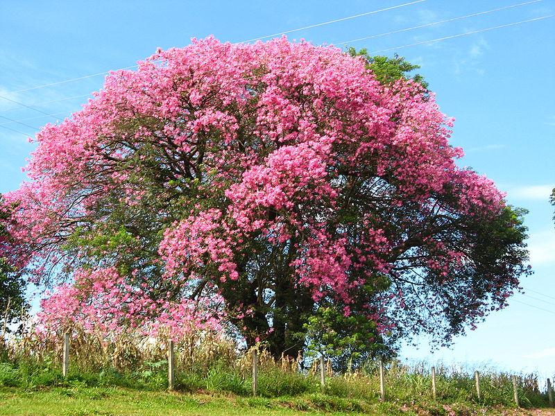 パイネイラは『トックリキワタ』とも呼ばれるアオイ目パンヤ科(アオイ科とも)に分類される木の1種。バイロはポルトガル語で地区・地域のこと。