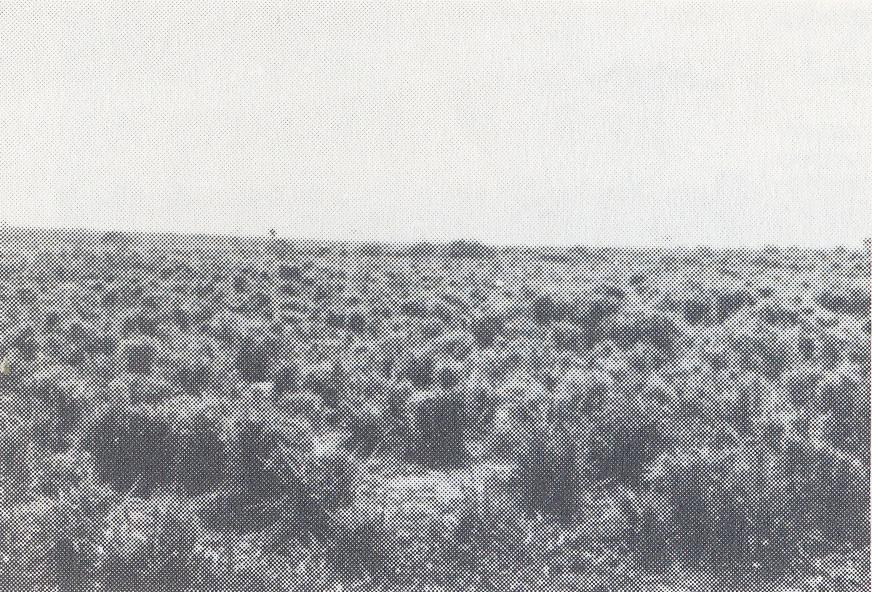 『セラード』はおもに幹の曲がったまばらな灌木とイネ科植物を主とする低木をまじえた草原。(1991年8月出版 農業総合雑誌アグロナッセンテ57号より)
