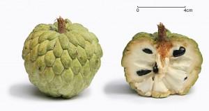 『コンデ』とは果物のアテモヤのこと。釈迦頭とチェリモヤを掛け合わせた品種 。(Foto By Muhammad Mahdi Karim (www.micro2macro.net) Facebook Youtube (Own work) [GFDL 1.2 (httpwww.gnu.orglicensesold-licensesfdl-1.2.html)], via Wikimedia Commons)