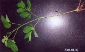 モリンガの稚苗(播種後3週間、草丈26センチ、野澤弘司さん撮影)