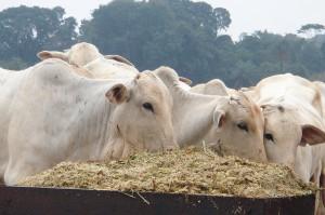 ブラジルで生産されている肉牛(Foto: FMVZ/USP)