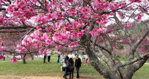 『カルモ』はサンパウロ市内にある公園。この公園に日本人移民が桜を植樹し、今では季節になると見事な花が咲き、桜まつりも行われる。