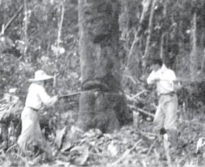 原始林の切り倒しの様子