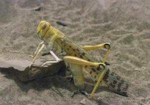 砂地に産卵するサバクトビバッタ