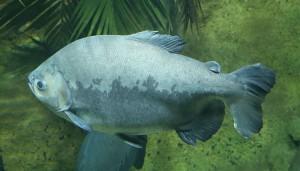 『タンバッキ』『タンバキー』とは、コロソマのこと。アマゾン川水系などに生息する大型淡水魚のこと。 (Foto By Rufus46 (Own work) [CC BY-SA 3.0 (http://creativecommons.org/licenses/by-sa/3.0)], via Wikimedia Commons)
