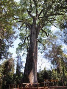 3千年の樹ジェキチーバ・ローザ