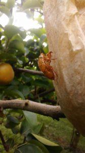 梨に掛けた袋の上で見つけたセミの抜け殻