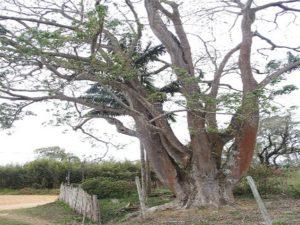 アンダーアスーの巨木