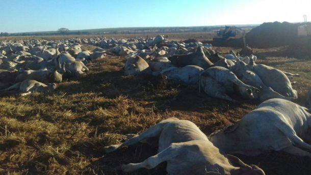 累々と横たわる牛の死体(Marca 7)