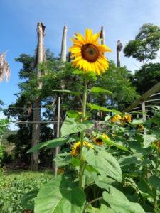 アチバイアの農場で開花したど根性ひまわり8世