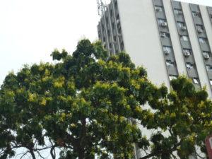 パウ・ブラジルの木の遠景