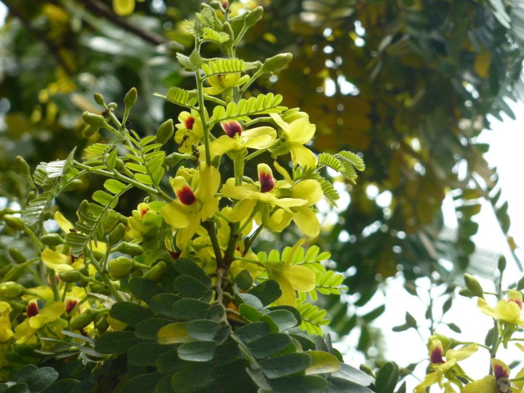 リベルダーデ広場で見ごろのパウ・ブラジルの花