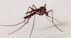 MAYVを媒介する蚊の代表のヤブカ(Haemagogus、Geniton Vieira/IOC/Fiocruz)