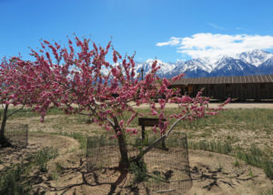 収容所を再現して博物館にした建物の間に咲く沖縄桜