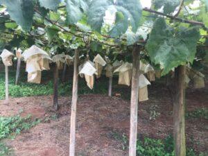 収穫間際の葡萄