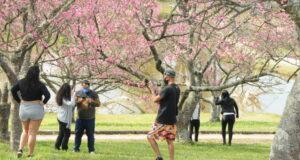 車から降りて間近で桜を楽しむ事が出来る停車スポットで撮影などを行う来訪者たち